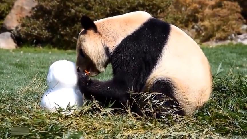 """大熊猫吃""""雪人"""",非常有趣的食物,能吃还能玩"""