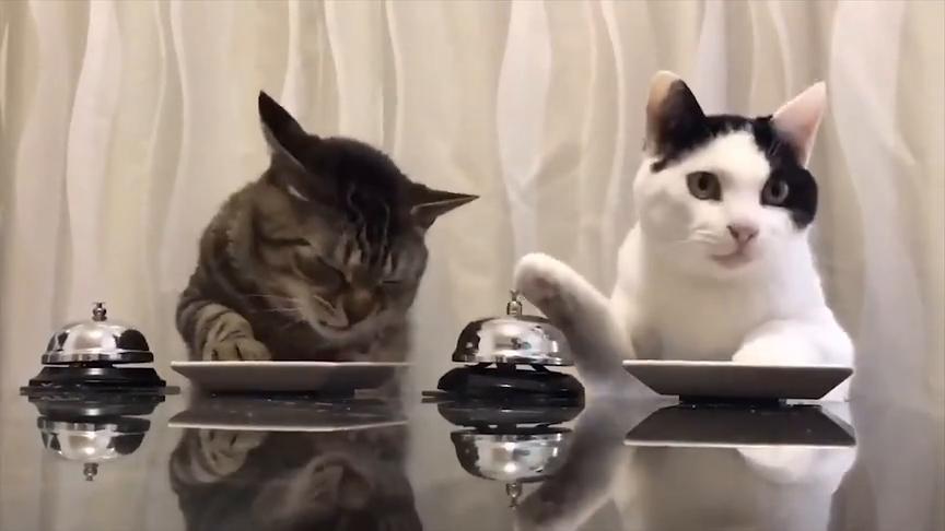 两个小猫咪坐在餐桌前,按着桌上的铃铛等吃饭,好有趣啊!