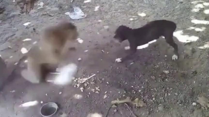 猴子与狗子的战争,这猴子下手太狠!