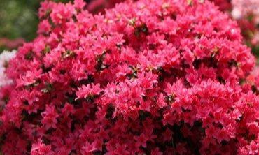 """杜鹃花有""""三怕"""",避开不黄叶烂根,花苞分化快,颜色艳丽香气浓"""