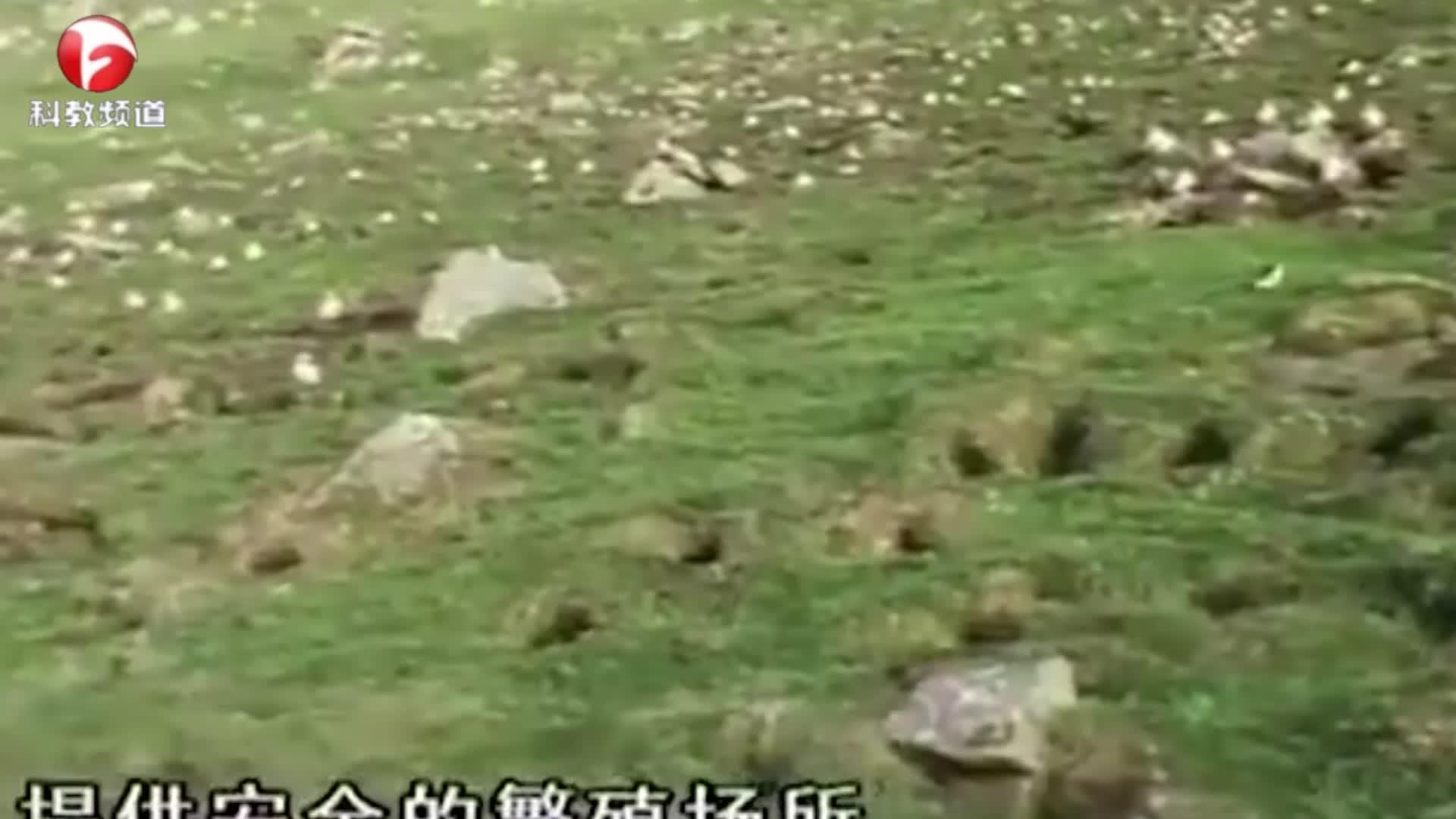 黑背鸥空中捕捉海雀,海雀逃走了,真是死里逃生!