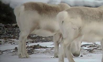 没得选择!全球变暖正在扼杀驯鹿,没食物吃海藻,人类何去何从?