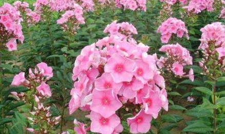 8种花卉秋天播种,来年繁花似锦,让你家庭院、阳台变花园