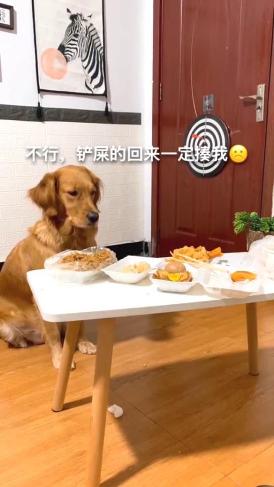 主人测试金毛定力,狗子上演内心戏,一直在纠结吃不吃