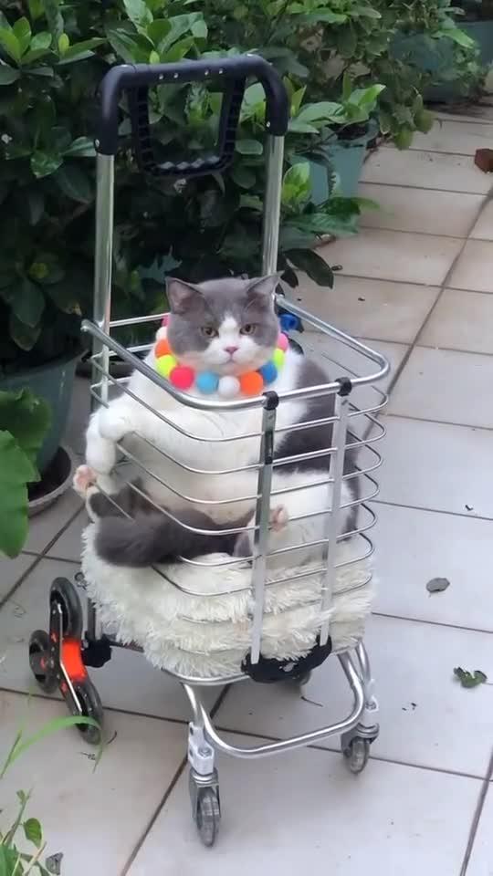 我家猫咪是只猪,不信你们看看,小车都坐不下了!