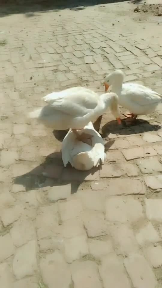 自从多了一只鹅,天天被这样折磨,难道是隔壁老王?