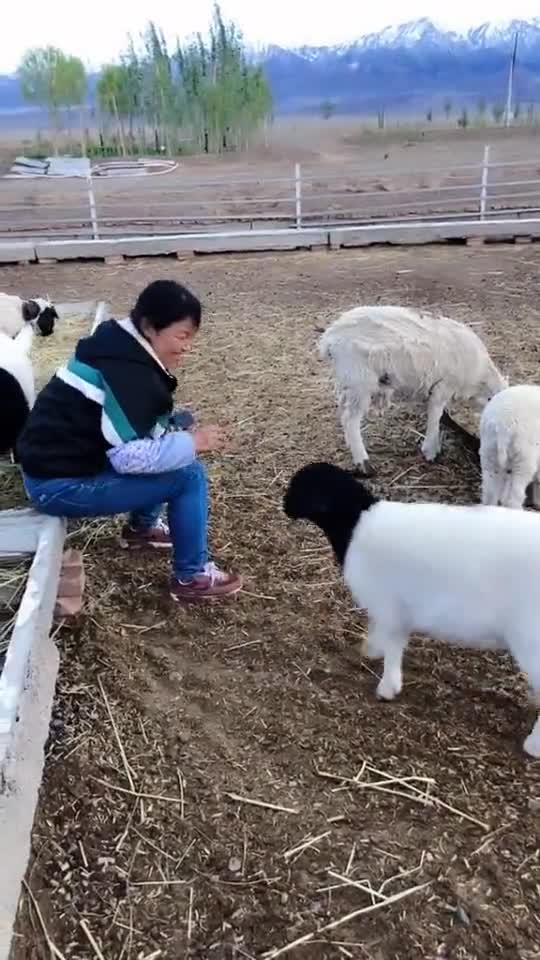 一只羊有多独特,在于它的黑头