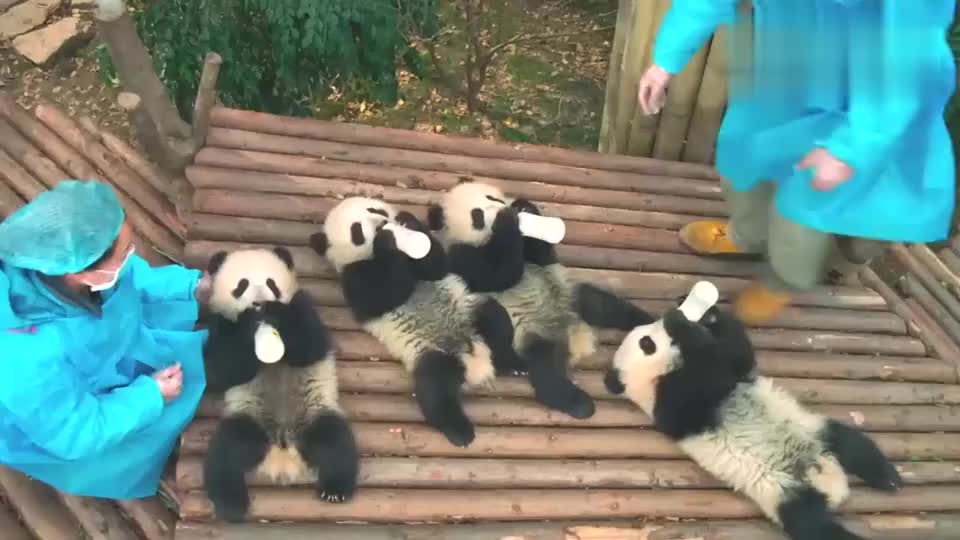 全世界唯一一只棕色大熊猫极其珍贵难道生它的时候墨不够了