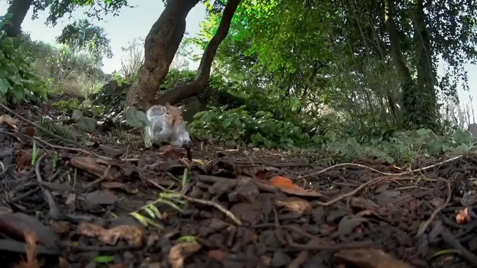 可爱的小松鼠,抱着食物发呆呢