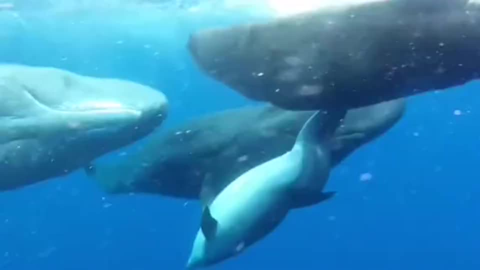 畸形小海豚,被抹香鲸收留
