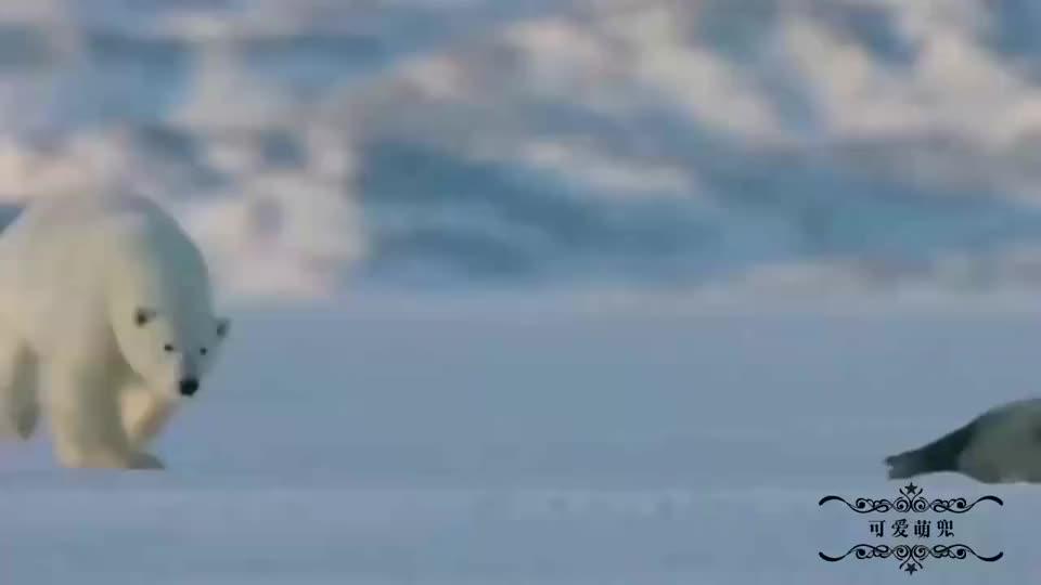 小北极熊第一次出门觅食,这敏捷的身手,是天生的猎食者!