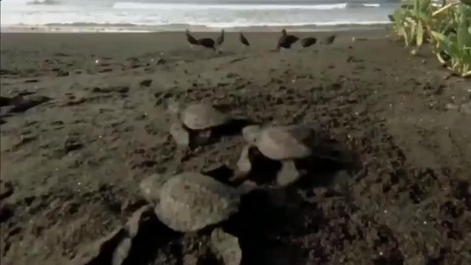 实拍自然界中小海龟,刚刚孵化就遭遇了秃鹰的埋伏无一幸免