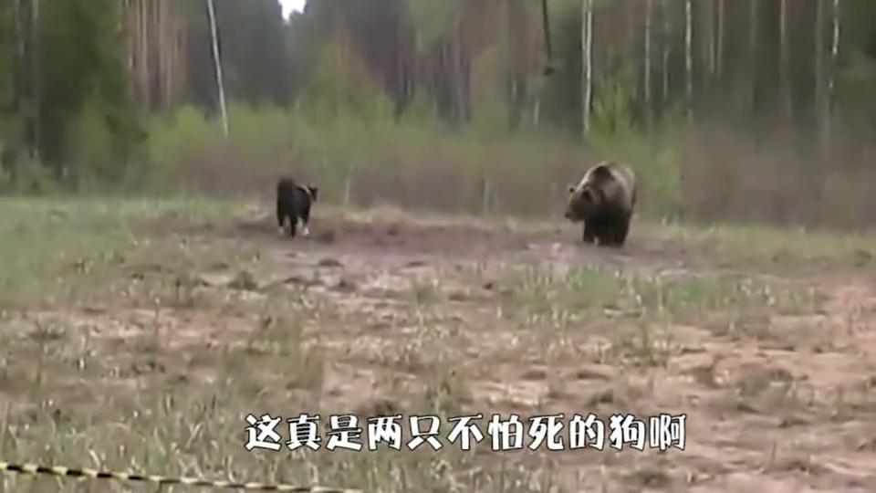 两只边牧误闯棕熊领地,棕熊气的原地发狂,镜头记录惊险一幕