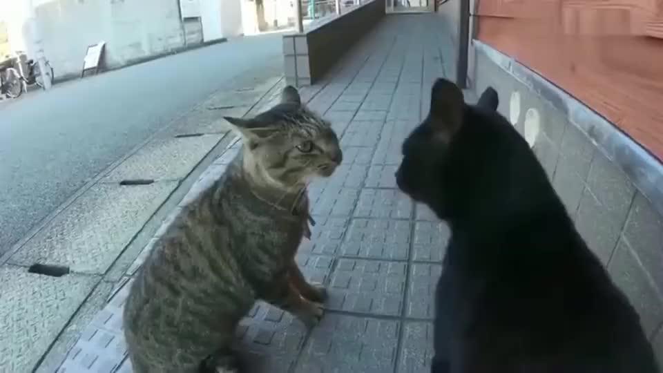 狸花猫:最近有点无聊,找黑猫警长吵一下架