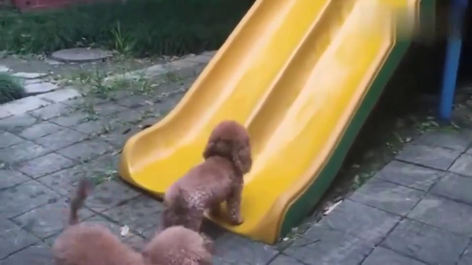 两只泰迪比赛爬滑梯,你俩是来搞笑的吧,泰迪