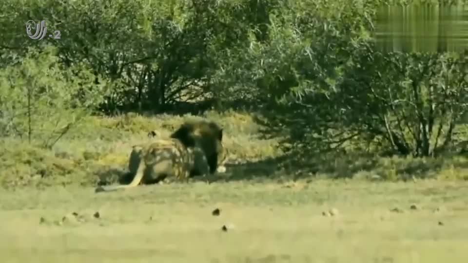 河马误入狮子地盘,狮子发怒袭击重达千斤的河马,场面开始失控