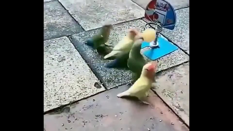 鹦鹉也会打篮球,这灌篮看得真惭愧!
