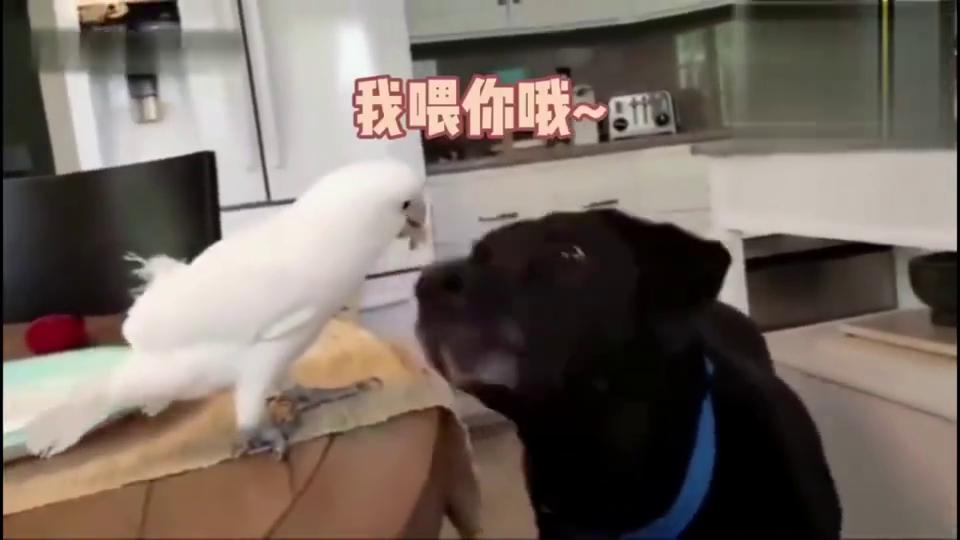 网友家的狗子是鹦鹉喂大的,这你一口我一口的场面,被萌翻了