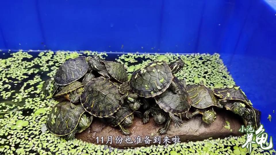 小池说这个季节可以捡漏,为什么呢,这个季节还适合入龟吗?