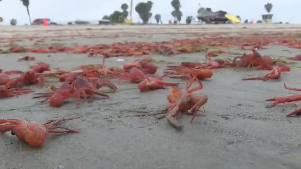 美国加州小龙虾泛滥成灾?生物学家:别被骗了,这哪是什么小龙虾