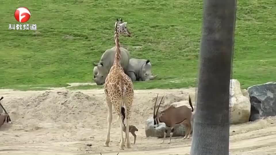 可恶的长颈鹿!一脚踩下小羚羊,再也没爬起来
