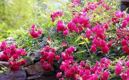 热爱生活,那就在家盆栽几株蔷薇花,网友:让灿烂照亮你的生活