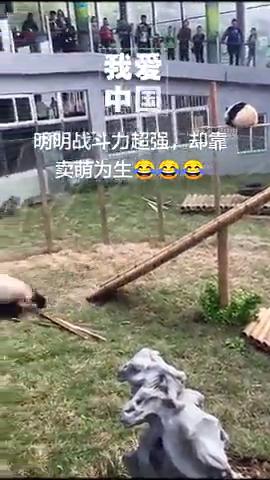 大熊猫咬合力仅次于北极熊,和棕熊齐平,却靠卖萌为生