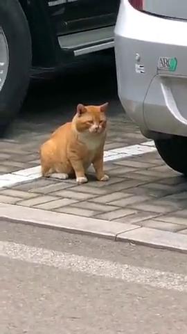 不要看人家是只流浪橘猫,这体型就知道吃得好