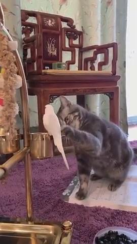 看我家的猫咪,喜欢上小白鸽呢