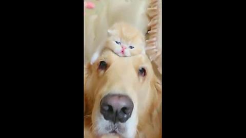 金毛认养小猫崽当干儿子,整天抱在怀里不松手,连亲儿子都不要了