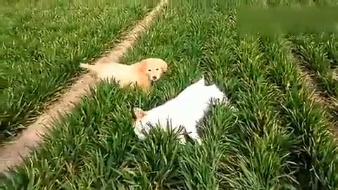 金毛和中华田园犬,咋看都是田园犬好看……你们说对?