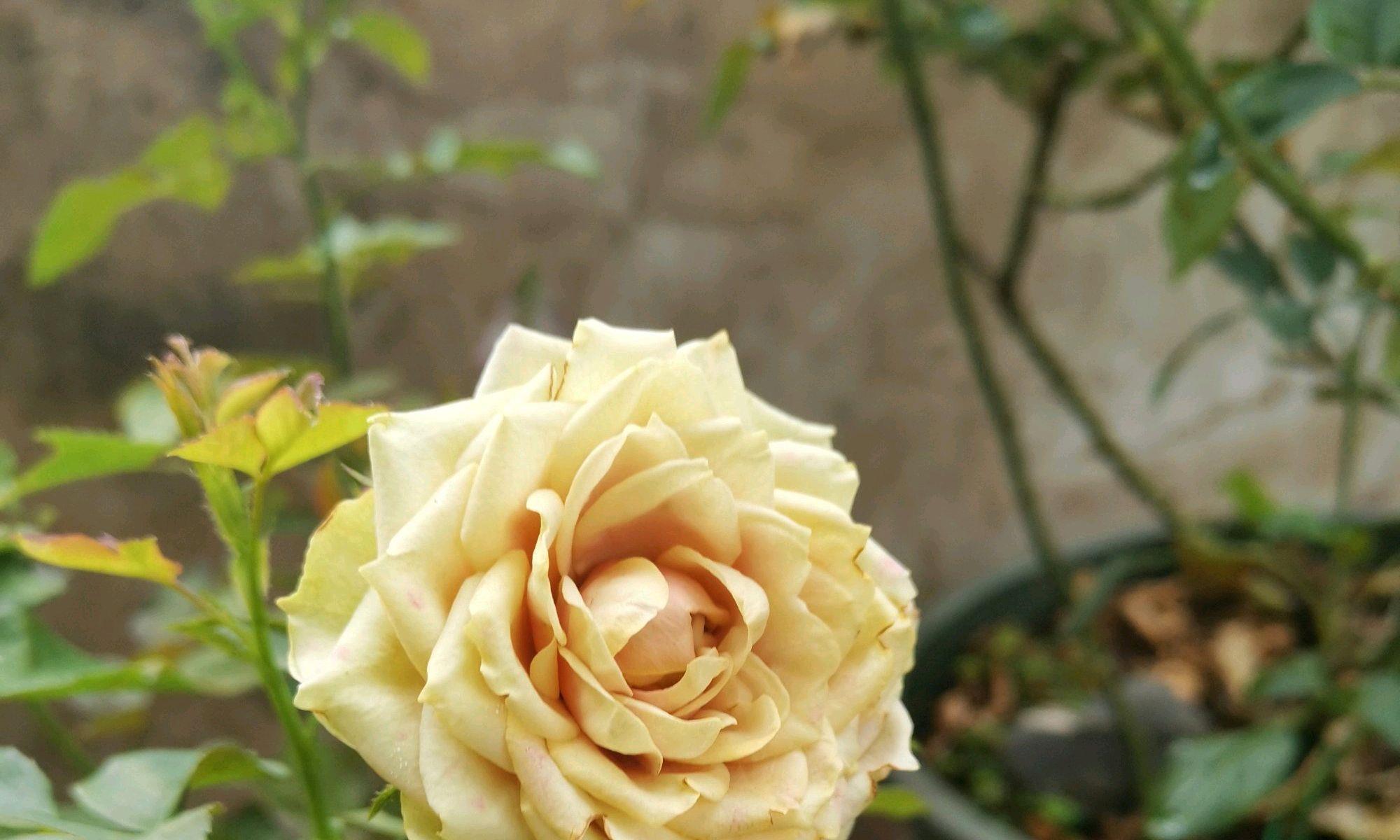 刚买回来的月季花盆栽,做不到4点,两天就能干枯掉花不开花