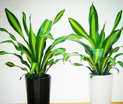给巴西木施肥,注意1点,枝干粗壮,叶子翠绿光亮