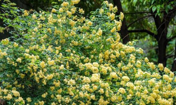 """喜欢养花,就养一盆""""木香花"""",露台栽1棵,千朵万朵爬满墙"""