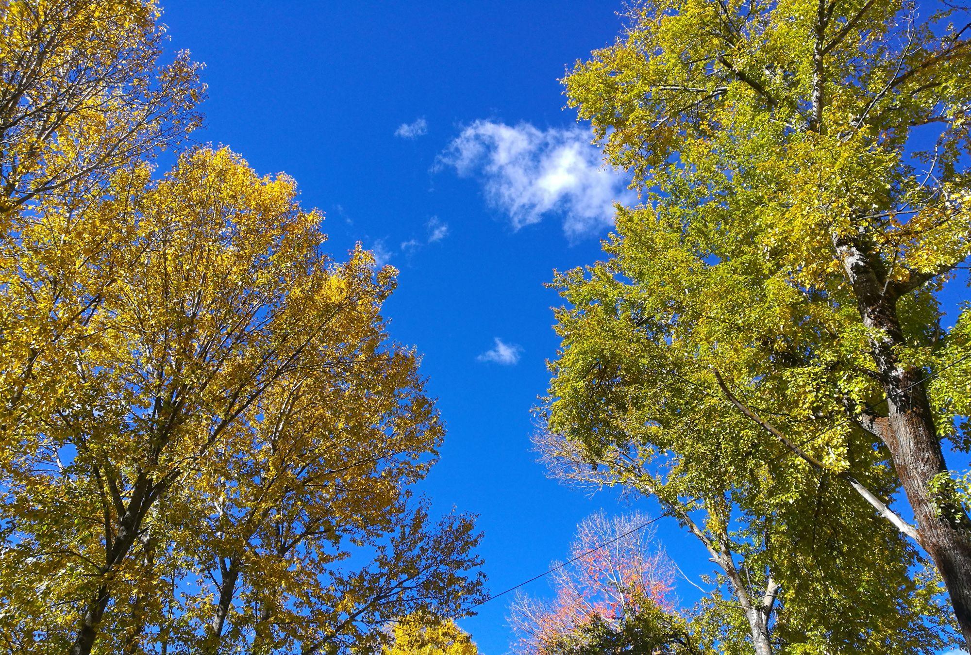 川西游,新都桥的秋色,蓝天白云,黄色的树叶