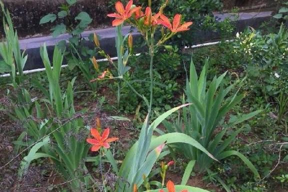 山区的一种中草药,花开鲜艳,能做盆栽,您可见过