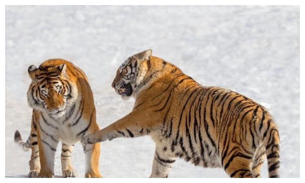 生肖虎12月运势:抛弃他就等于断送了自己的财运!生肖虎要注意