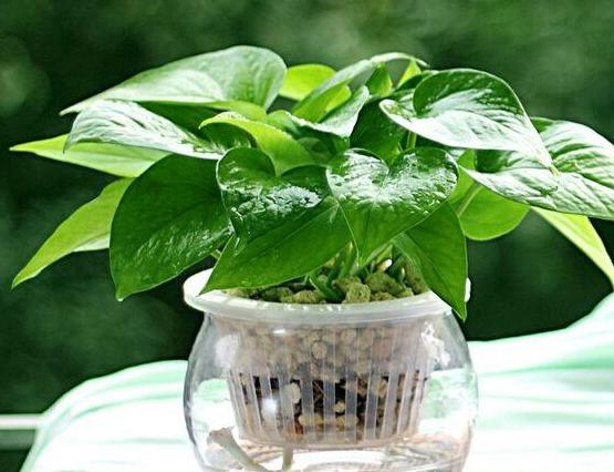 水培绿萝,叶子又厚又绿,根白的喜人,因为水里加了它!