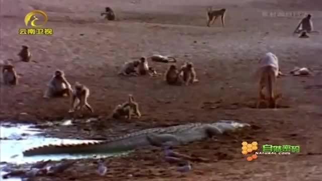 小河马靠妈妈撑腰跑去骚扰鳄鱼整个过程被拍下