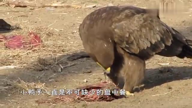 老鹰想抓小鸭子,竟然遭到了鸭子妈妈的反杀,最后活活被淹死