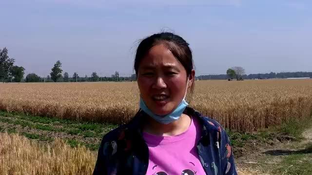 皖北开始收割小麦了,机械化收割就是快,一亩地一会就收割完