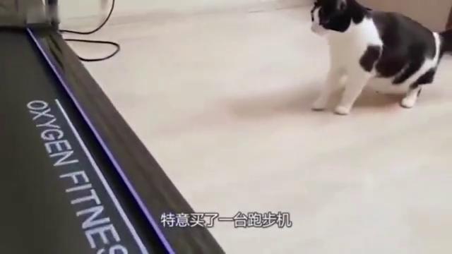 国外男子为了让猫咪减肥,买了跑步机引诱它,这年头猫都会健身了