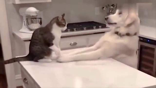 哈士奇发现自己的大白汪女友爱上别的猫了,心痛到无法呼吸,抽泣
