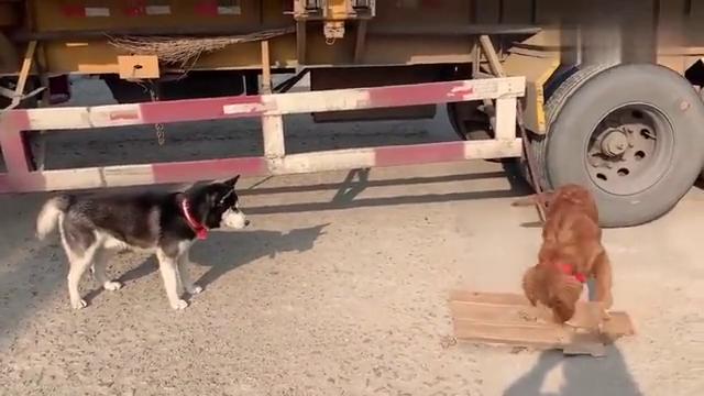 狗在那拆纸盒子,二哈就在那看着,二哈:拆家这东西是要看天赋的
