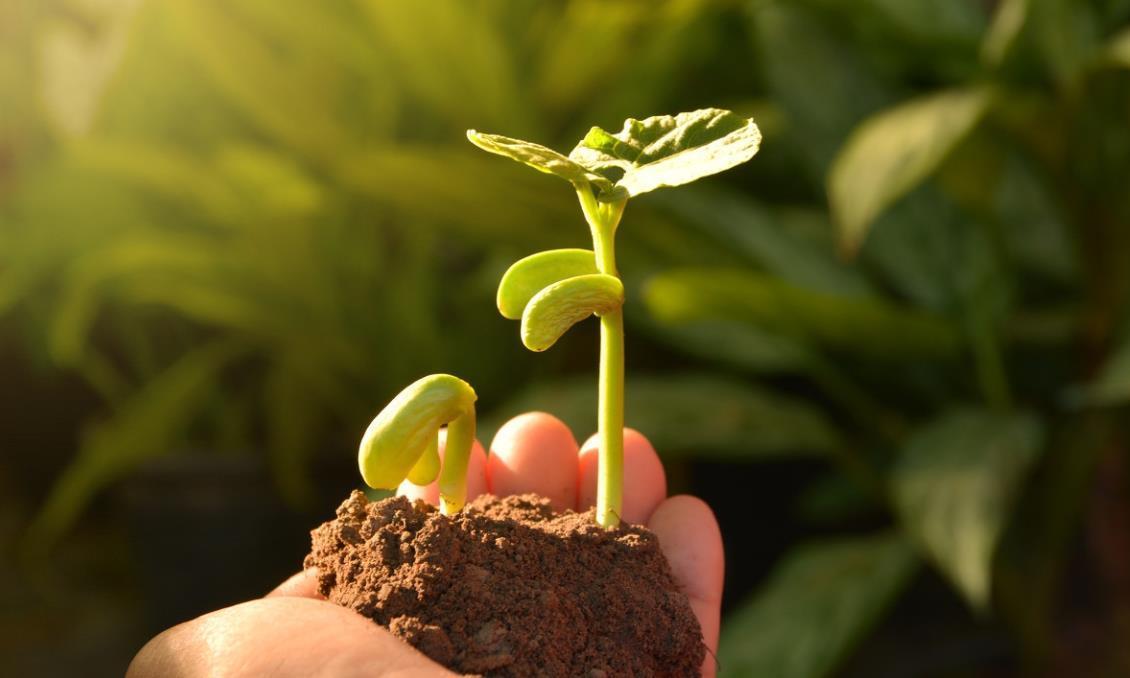 种植刀豆,生长期长,掌握播种时间很重要