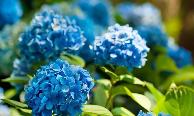 怎样让绣球花开出梦幻蓝色?调蓝工作正当时