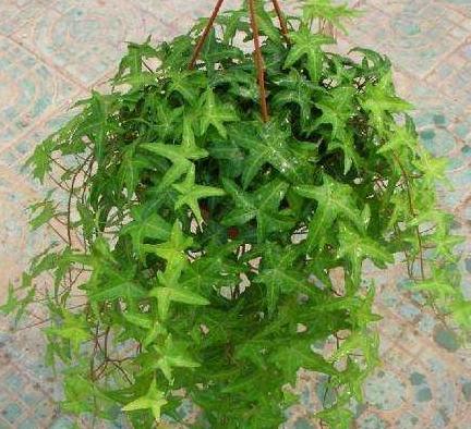 比绿萝吊兰更好养?这盆栽2个月不浇水,叶子绿油油,咋养也不死