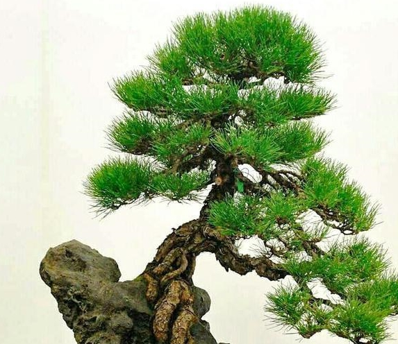 冬病夏治,减少松类盆景真菌病虫害,黑松盆景夏季养护方案!