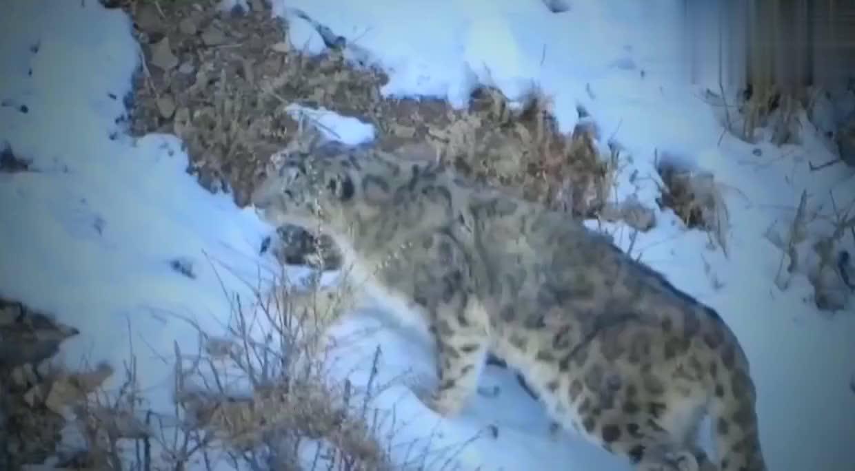 雪豹在雪地里狩猎野山羊,场面好刺激