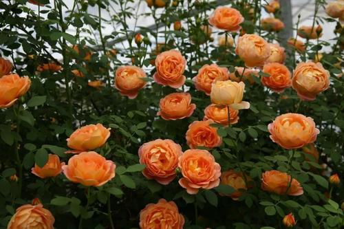 5种月季花,号称开花机器,几乎不生病,新手也会养